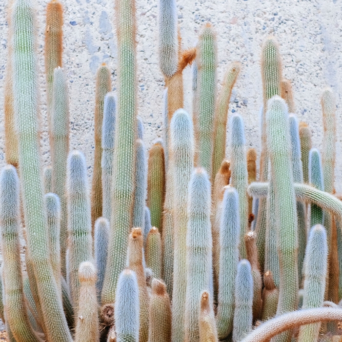group of pale blue and tan cactus