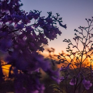 Jacaranda silhouette at sunset